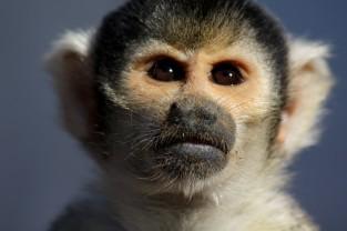 Squirel Monkey